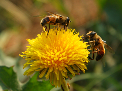 Bees_pollinating_a_flower.jpg