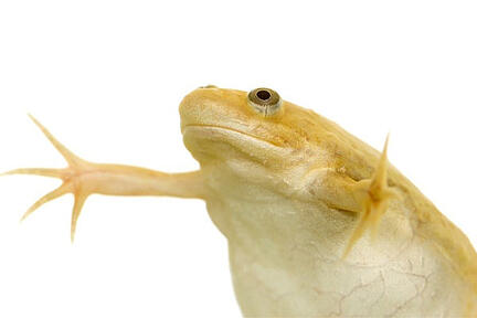 Africa-clawed-frog