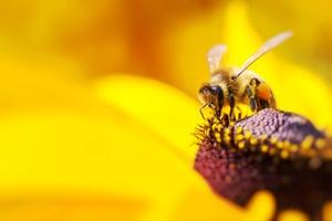 Western Honey bee gathering nectar
