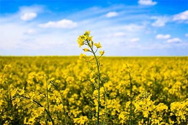 Yellow rape seed oil
